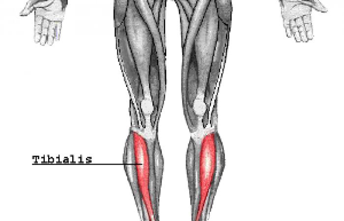 tibialis diagram